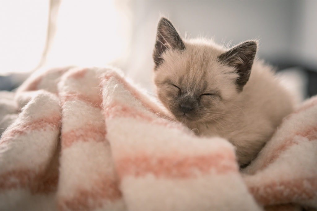 A Siamese kitten sleeping on a pink and white striped blanket
