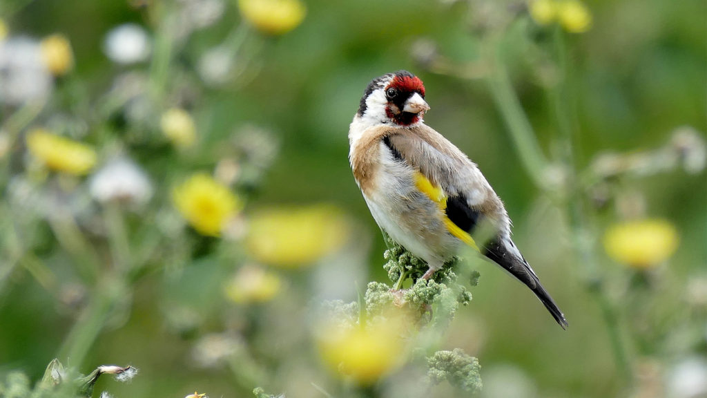 A goldfinch perched in tall grass