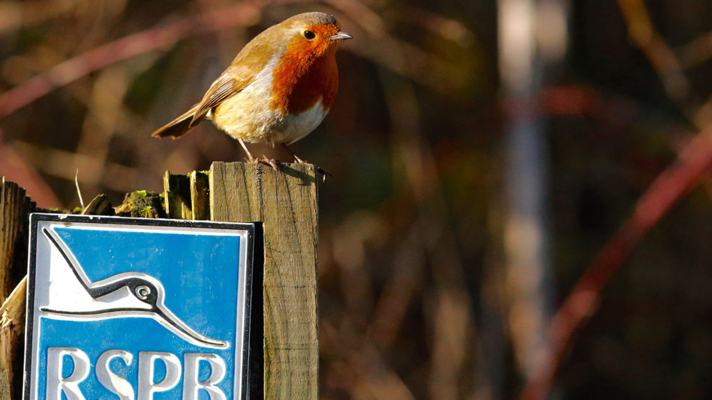 A robin perched on an RSPB sign