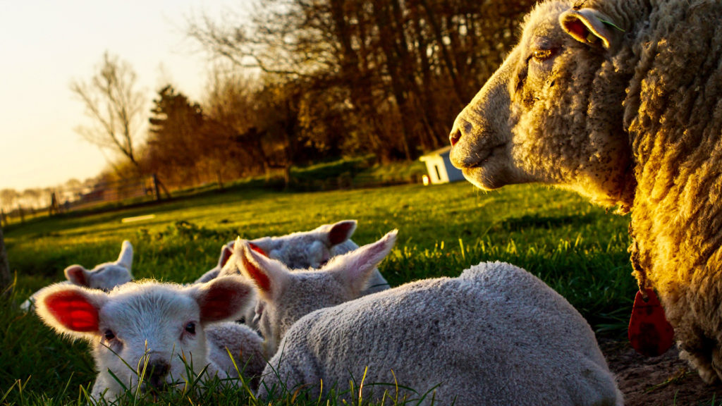 Lambs and a sheep in a field